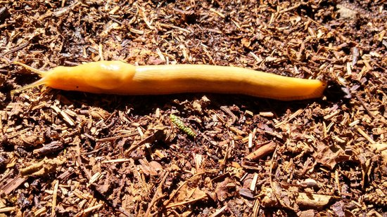 Redwood National Park: Banana Slug - Park Mascot