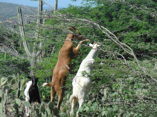 Boardwalk Hotel Aruba: wildlife