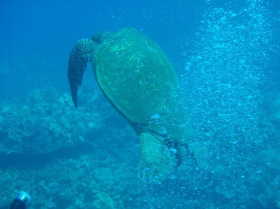 Maui Diving Scuba Center Snorkel Shop: Green Sea Turtle