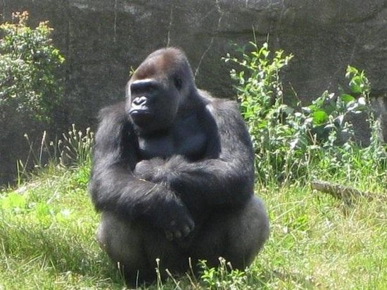 Detroit Zoo : Great Ape