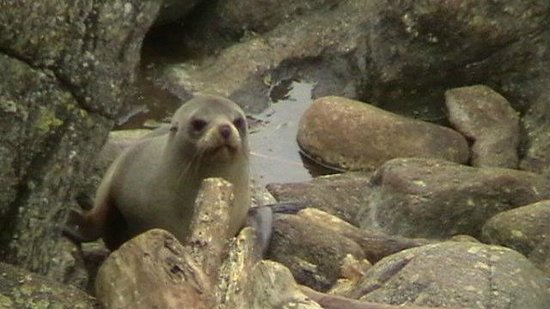 Cape Foulwind Seal Colony: Seal pup