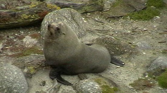 Cape Foulwind Walkway: Adult seal