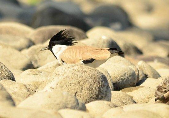Jia Bhorelli Wild Resort: river tern