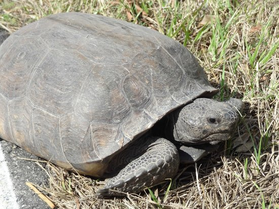 Blue Dolphin Cottages: Gopher Tortoise opposite the cottages
