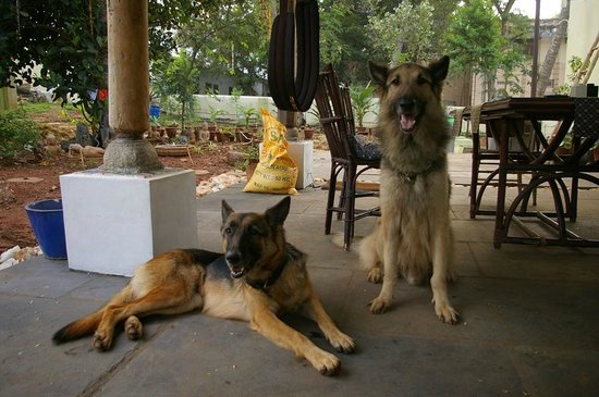 Shanti Nilayam (peaceful house) Guesthouse: Friendly dogs: Silver (left) & Tipu (right)