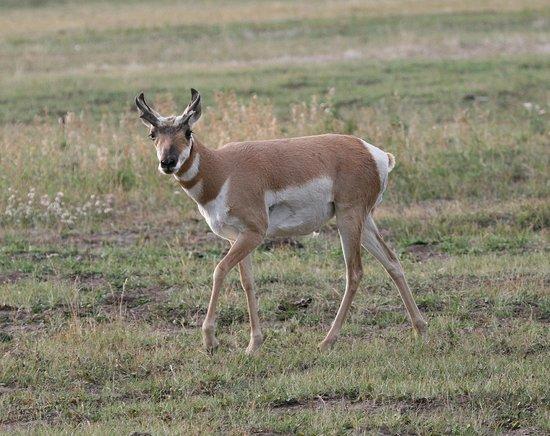 Antelope Flats: Young pronghorn antelope