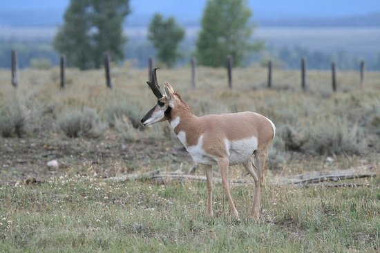 Antelope Flats: Pronghorn antelope buck