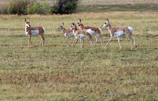 Antelope Flats: Pronghorn antelope herd