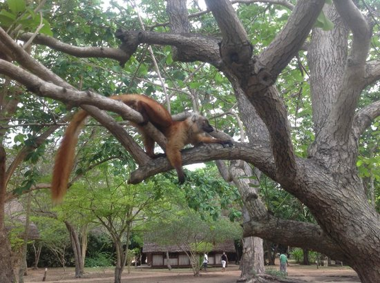 Eden Lodge: Lemur lazing in one of the hotels trees