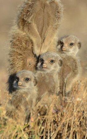 De Zeekoe Farm: meercat family