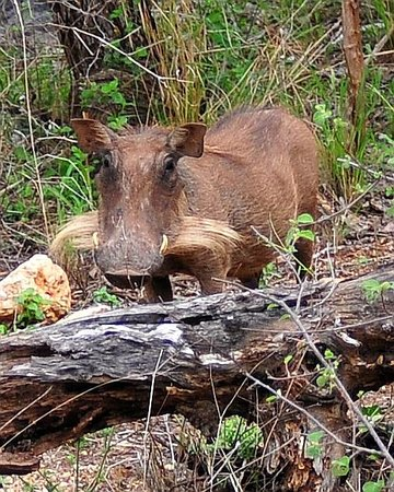 Muweti Bush Lodge: Female warthog with whiskers that´s supposed too lool like the males tusks.