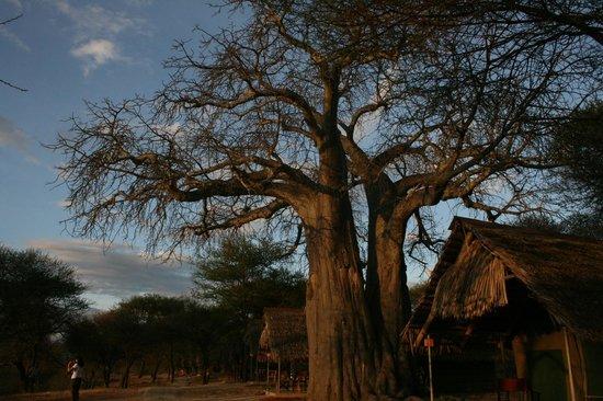 Tarangire Safari Lodge: tents and baobab tree