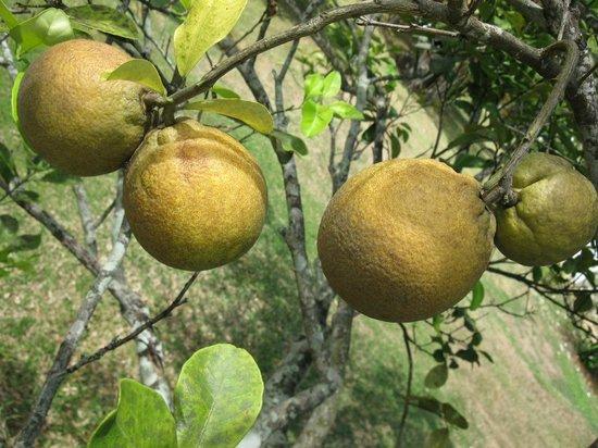 Fruits found at Daniella's Bungalows Garden-Local Oranges
