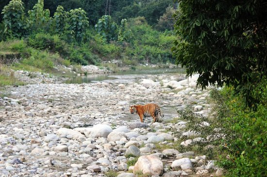 Aahana the Corbett Wilderness: Tiger spotted by a guest in Sitabani