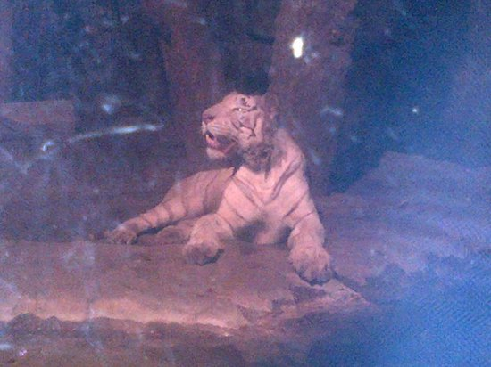 Zoo of the city of Barranquilla: TIGRE BLANCO
