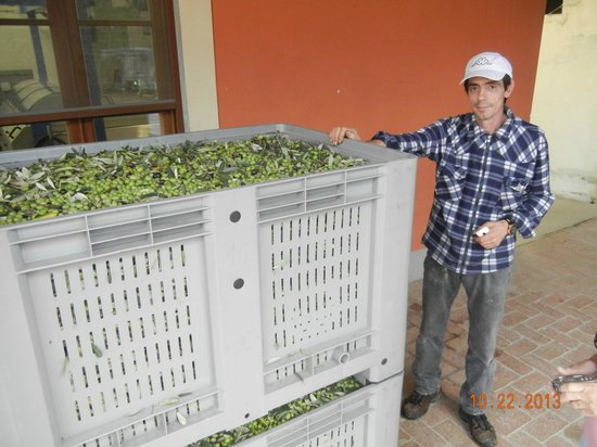 Agriturismo Vecchio Olivo: Olives, ready to make the best oil in the world