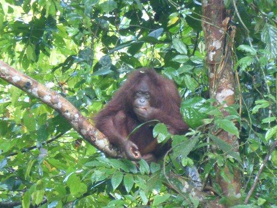 All Borneo Connection - Day Tours : Danum Valley - orango