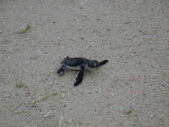 All Borneo Connection - Day Tours: Lankayan Island - le tartarughe verso il mare