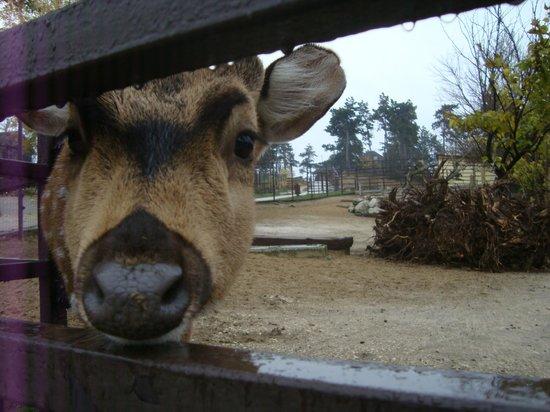 Veszprem Zoo : A curious dear