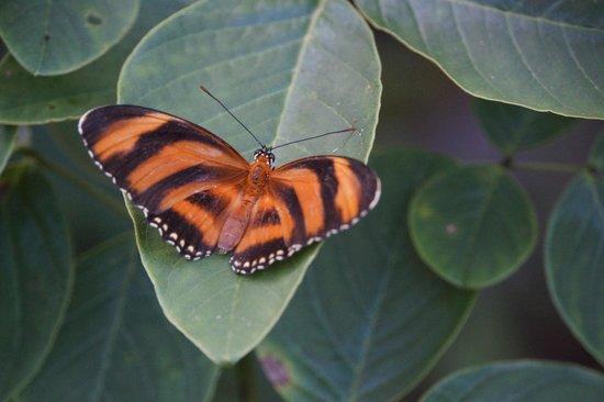 Playa Viva: Ariela's butterfly (Dryadula phaetusa)
