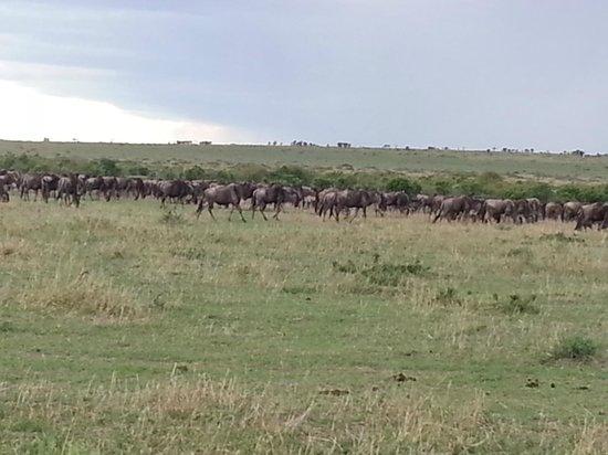 Eagle View, Mara Naboisho: Gnu / Wilderbuist