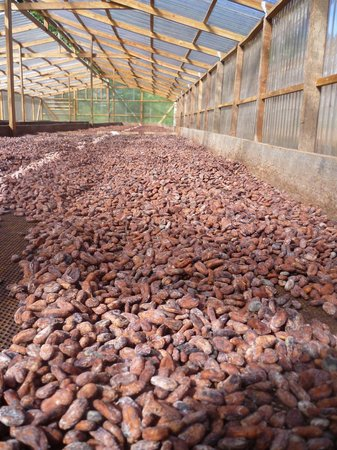 Belmont Estate: drying cocoa beans