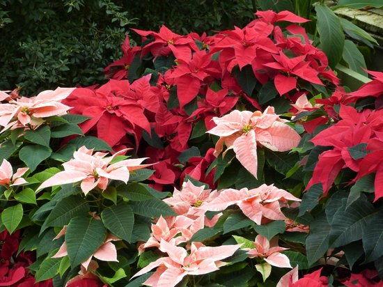 Buffalo and Erie County Botanical Gardens: COLOURFUL PRETTY POINSETTIAS