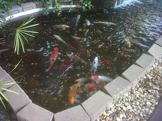 Hampton Inn & Suites Red Bluff : Feeding time in coi pond