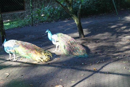 El Establo: Peacocks at the property