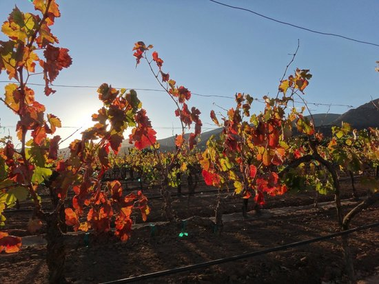 Vinedos Malagon : Autumn vines in late afternoon sunlight