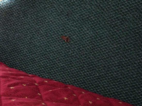 Parramatta City Motel: Cockroach