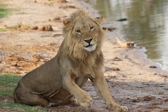 Camp Linyanti: Lion at the river Linyanti