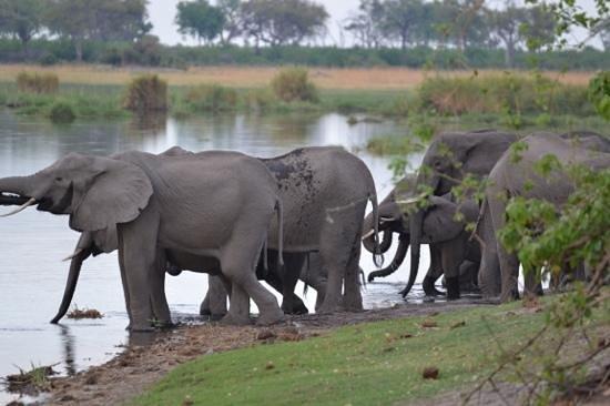 Camp Linyanti: Elephants at the river Linyanti