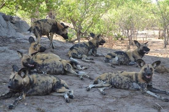 Camp Linyanti: Wild dogs at our camp