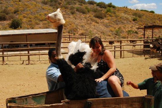 Cango Ostrich and Butterfly farm: Cango Ostrich Show Farm
