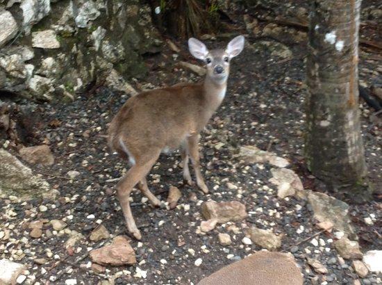 El Sueno Tropical: one of our pet deer