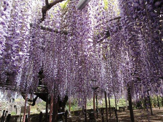Sasamuta Shrine : 樹齢450年の藤の名木