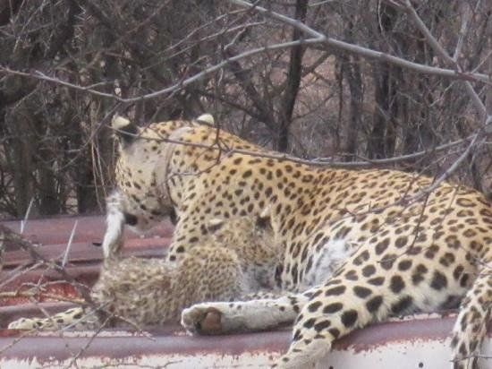 Okonjima Bush Camp : Electra and cub