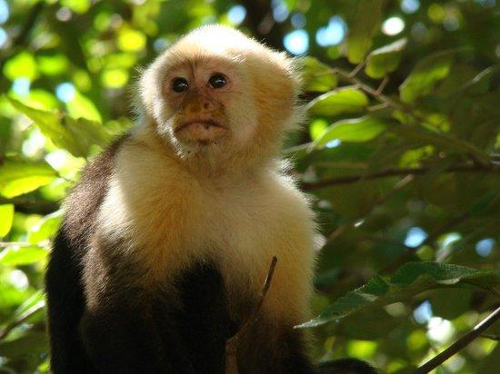 Allegro Papagayo: Capuchin monkey by the beach