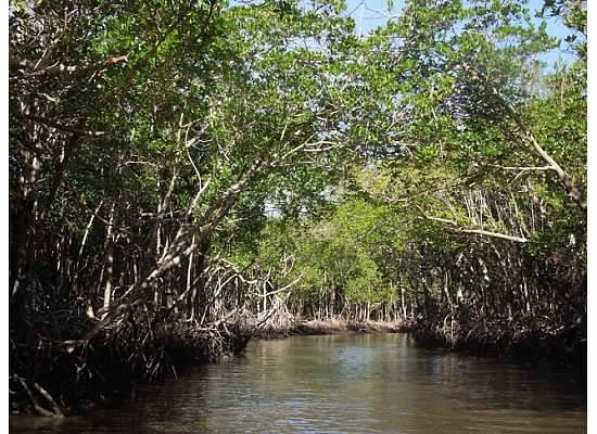 Everglades City Airboat Tours: Mangrove forest