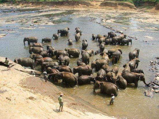 Cinnamon Citadel Kandy: à Pinnawela l'orphelinat des éléphants, magnifique