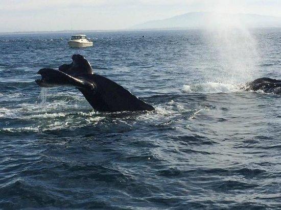 Sanctuary Cruises: Humpback view 11/26/13