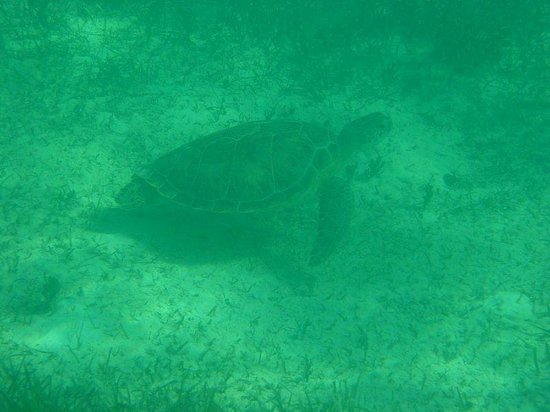 Undersea Explorer: Sea turtle swimming by. My camera isn't the best - the direct view of what you see is much bette