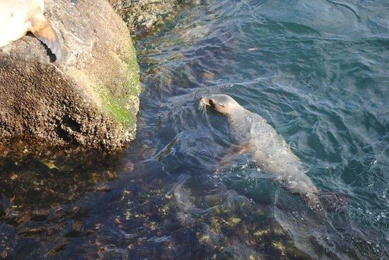 Coast Guard Pier: Harbor seal near break wall