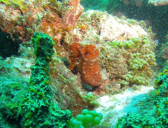St. Croix Ultimate  Bluewater Adventures (SCUBA), Inc. : Great Sea Horse we found on our dive