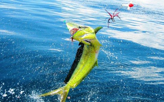 Bahia Rica Fishing and Kayak Lodge: Flying dorado