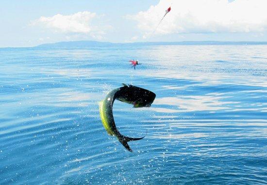 Bahia Rica Fishing and Kayak Lodge: Jumping dorado