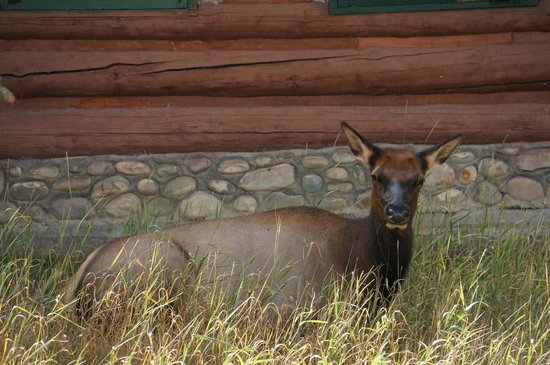 Fairmont Jasper Park Lodge: Wildlife next door