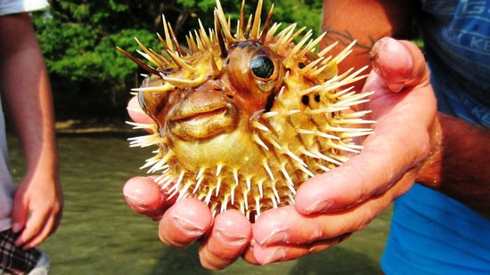 Bahia Rica Kayak and Fishing Lodge : Pufferfish