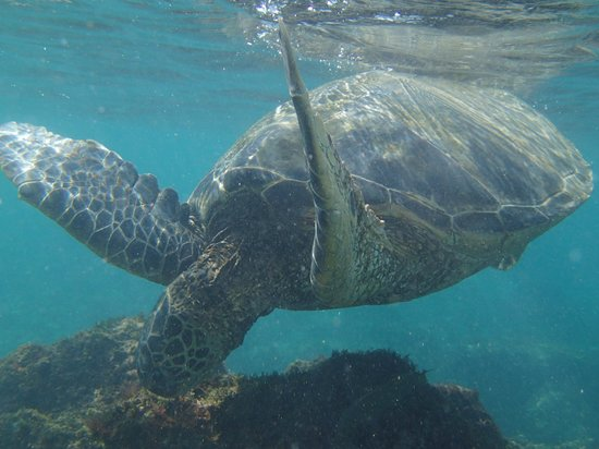 Napili Beach : Close up of a turtle in the water